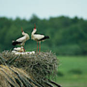 White Storks Displaying In Their Nest Art Print