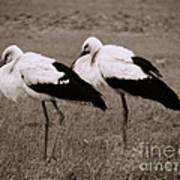 White Storks Art Print