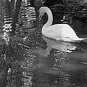 White Swan In Black And White II Art Print