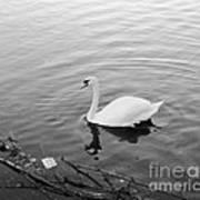 White Swan Solitary Art Print