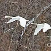 White Swans In Flight 1589 Art Print