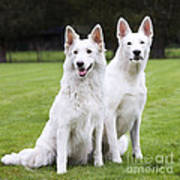White Swiss Shepherd Dogs Art Print