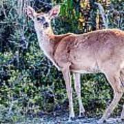 White Tail Deer Bambi In The Wild Art Print