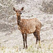 White Tailed Deer In Snow Art Print