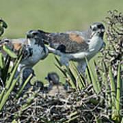 White-tailed Hawk Family Art Print