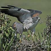White-tailed Hawks At Nest Art Print