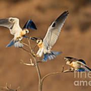 White-tailed Kite Trio Art Print