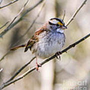 White Throated Sparrow Art Print