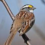 White-throated Sparrow Pictures 108 Art Print