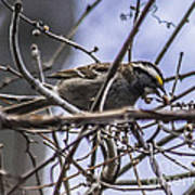 White-throated Sparrow With Berry Art Print