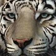 White Tiger - Up Close And Personal Art Print