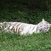White Tiger 2 Art Print