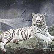 White Tiger On A Rock  Art Print