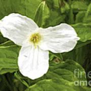 White Trillium Flower Art Print