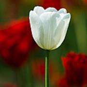 White Tulip - Featured 3 Art Print