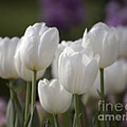 White Tulips 9169 Art Print