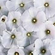 White Violets Art Print