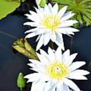 White Water Lilies Print by Jeannette Wagner