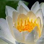 White Waterlily Art Print
