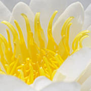 White Waterlily Detail Art Print