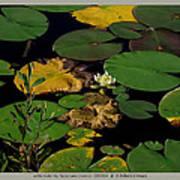 white waterlily - Nymphaea odorata - 09SE04 Art Print