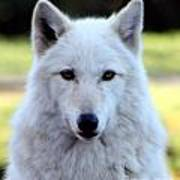 White Wolf Close Up Art Print