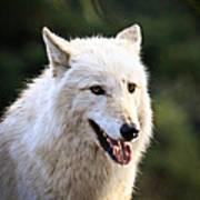 White Wolf Pant Art Print