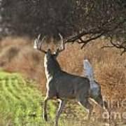 Whitetail Buck Rut Art Print