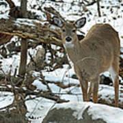 Whitetail Deer Doe In Snow Art Print
