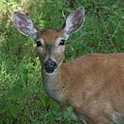 Whitetail Portrait In Valley Forge National Park Art Print