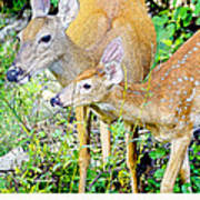 Whitetailed Deer Doe And Fawn Art Print
