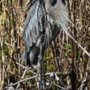 Who Is There - Great Blue Heron Art Print