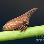 Widefooted Treehopper II Art Print