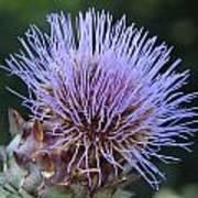 Wild Artichoke Flower Art Print