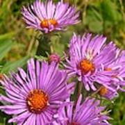 Wild Asters Art Print