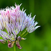 Wild Blue - Chive Blossom Print by Adam Romanowicz