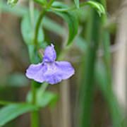 Wild Blue Orchid Art Print
