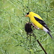 Wild Canary Bird Closeup Art Print