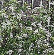 Wild Caraway And Old Fence Art Print