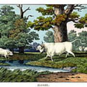 Wild Cattle Of Britain Art Print
