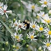 Wild Daisies And The Bumblebee Art Print