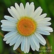 Wild Daisy With Dew Art Print