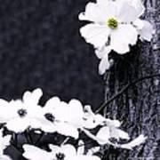 Wild Dogwood Blooms Art Print