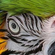 Wild Eyes - Parrot Art Print