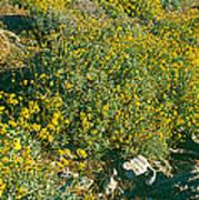 Wild Flowers, Anza Borrego Desert State Art Print