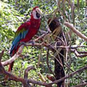 Wild Hawaiian Parrot  Art Print