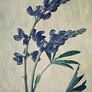 Wild Lupine Art Print