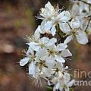 Wild Plum Blooms Art Print