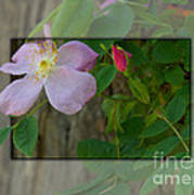 Wild Rose Out Of Bounds 1 Art Print