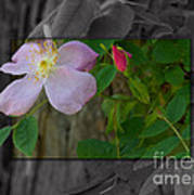 Wild Rose Out Of Bounds 2 Art Print